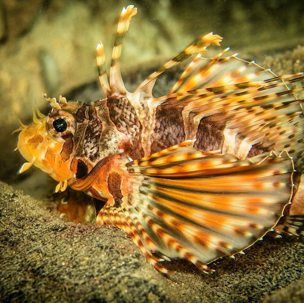 Wisdom Wednesday | The Dwarf Zebra Lionfish