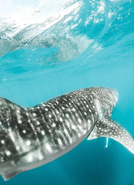 Wisdom Wednesday | Whale Sharks