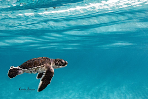 Photo of a sea turtle hatchling by Instagram user Cassie Jensen