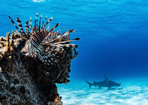 Wisdom Wednesday | Lionfish