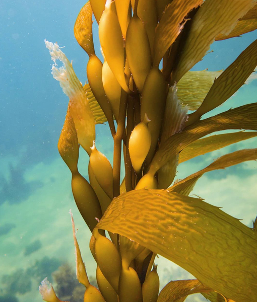 Wisdom Wednesday | Giant Kelp