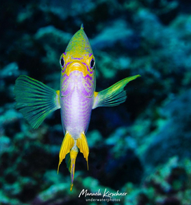 Image of a Damselfish by Manuela Kirschner