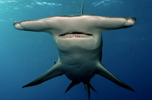 Instagram photo of a Great Hammerhead Shark. Hammerhead Shark photo by Jim Abernethy.