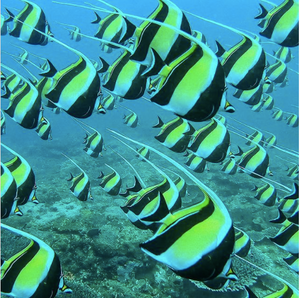 Image of a group of Moorish Idols swimming through the ocean. Photo by @divercaptain on Instagram.