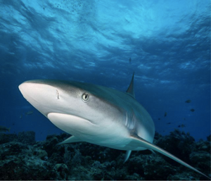 Caribbean Reef Shark swimming through the ocean. Photo by Steve Peletz.
