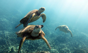 Shore Buddies Wisdom Wednesday - Sea Turtles swimming peacefully in ocean.jpg