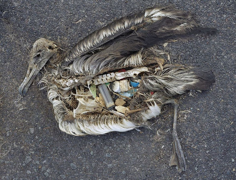 Albatross with ingested plastic
