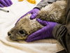 Seal in treatment with purple gloves.png