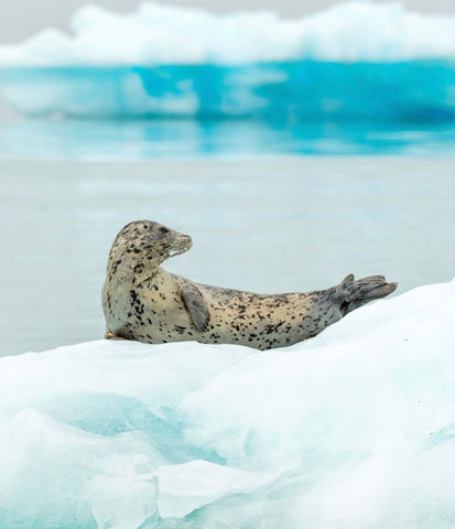 Spotted Seal in arctic