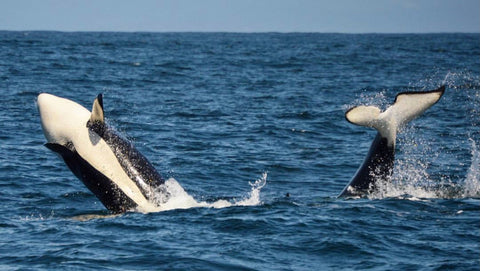 large orca in monterey bay