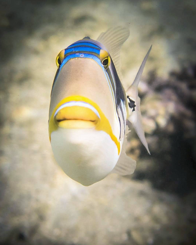 Picasso Triggerfish image from Instagram user @submerged_images