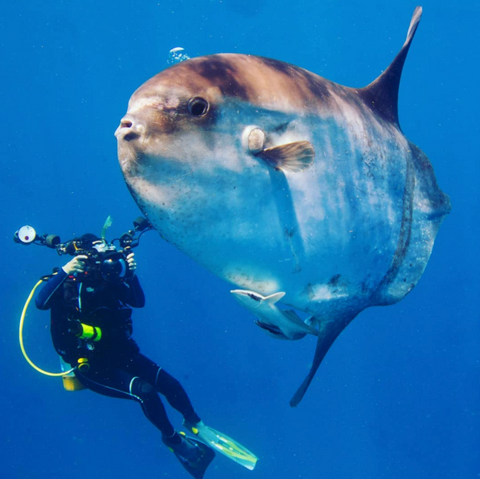Ocean Sunfish picture from Instagram @jim_abernethy