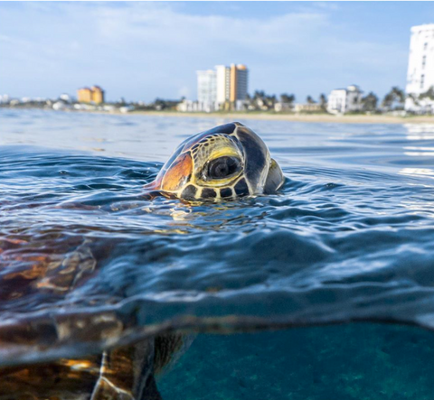 Sea turtle image by @zackvibes on Instagram