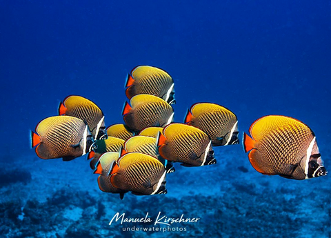 Photo of a Collared Butterflyfish by Manuela Kirschner on Instagram