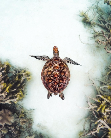 Photo of a sea turtle my Amy Mercer on Instagram @amy.mercerphotos