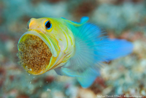 Image of a male yellowhead jawfish holding eggs in his mouth from Instagram user Michael Patrick O'Neill