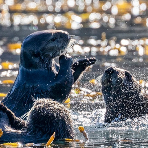 Image of sea otters from Instagram user @jillma2sh21