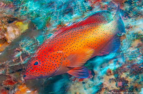 Image of a Red Coney Grouper by Instagram user Michael Patrick O'Neil