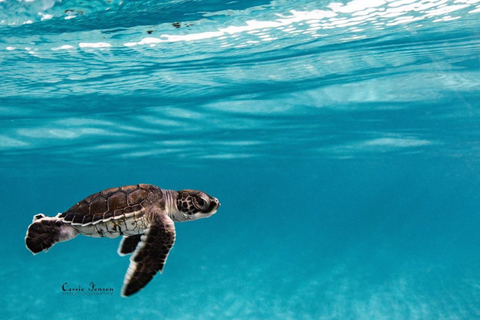Image of a sea turtle hatchling by Instagram user Cassie Jensen