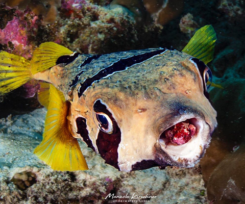 Image of a Black Blotched Porcupinefish by Instagram user Manuela Kirschner