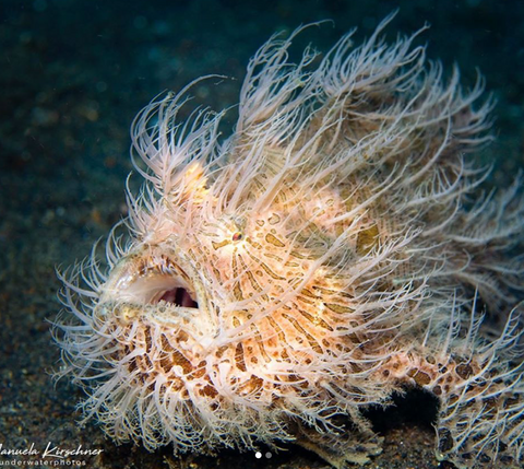 Image of a Striated Frogfish by Instagram user Manuela Kirschner