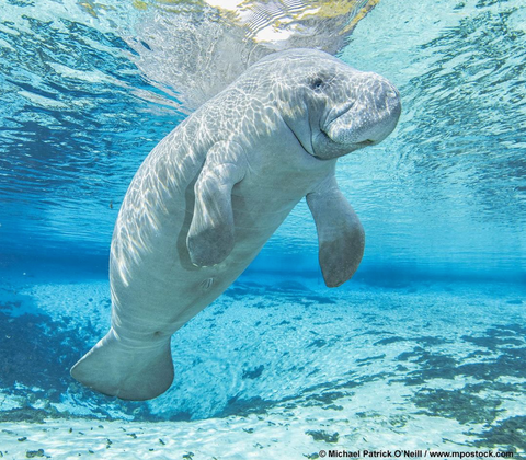 Image of a Manatee by Instagram user Michael Patrick O'Neill