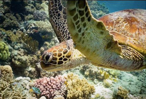 Instagram photo of a Green Sea Turtle swimming by coral. Photo by Danny Lee.