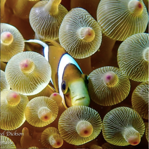 Image of a clownfish peeking through sea anemone. Photo by @divercaptain on Instagram.