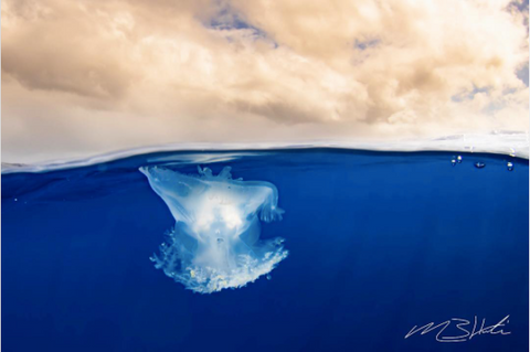 Image of a crown jellyfish floating at the surface of the ocean. Photo by @creationscape on Instagram.