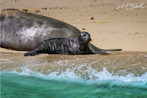 Image of a Hawaiian Monk Seal pup on a beach in Hawaii. Photo by @creationscape on Instagram.