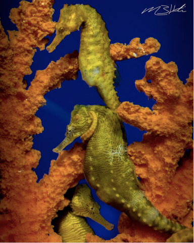 Image of two seahorses swimming near coral in Hawaii. Image by @creationscape on Instagram.
