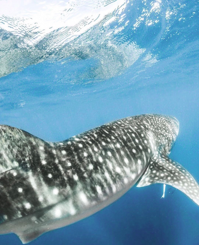 Image of a Leopard Shark from Amy Mercer