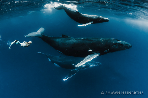 Hannah Fraser swimming as a mermaid with humpback whales