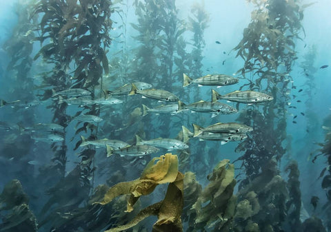 Kelp forest with fishies