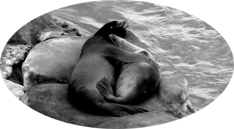seals cuddling on rock
