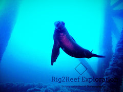 Sea lion with rig2reef.jpg