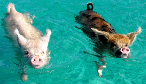 Pigs swimming in water