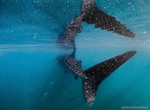 Photo of a whale shark swimming through the ocean. Photo by @inkacresswell on Instagram.