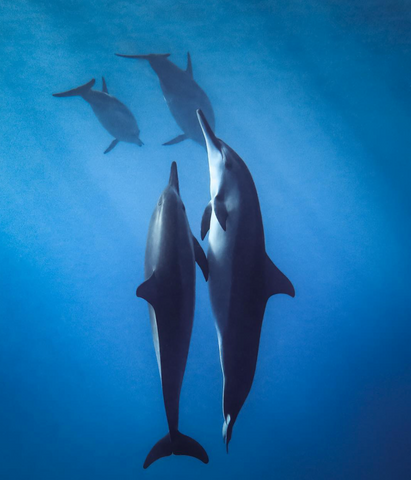 Dolphins swimming upwards