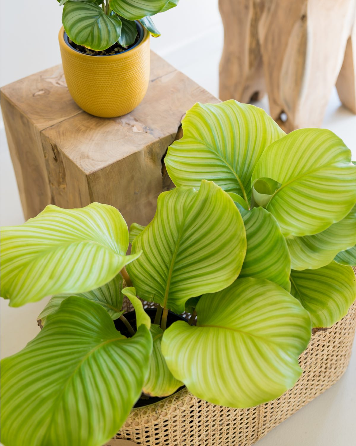 Calathea orbifolia - Medium