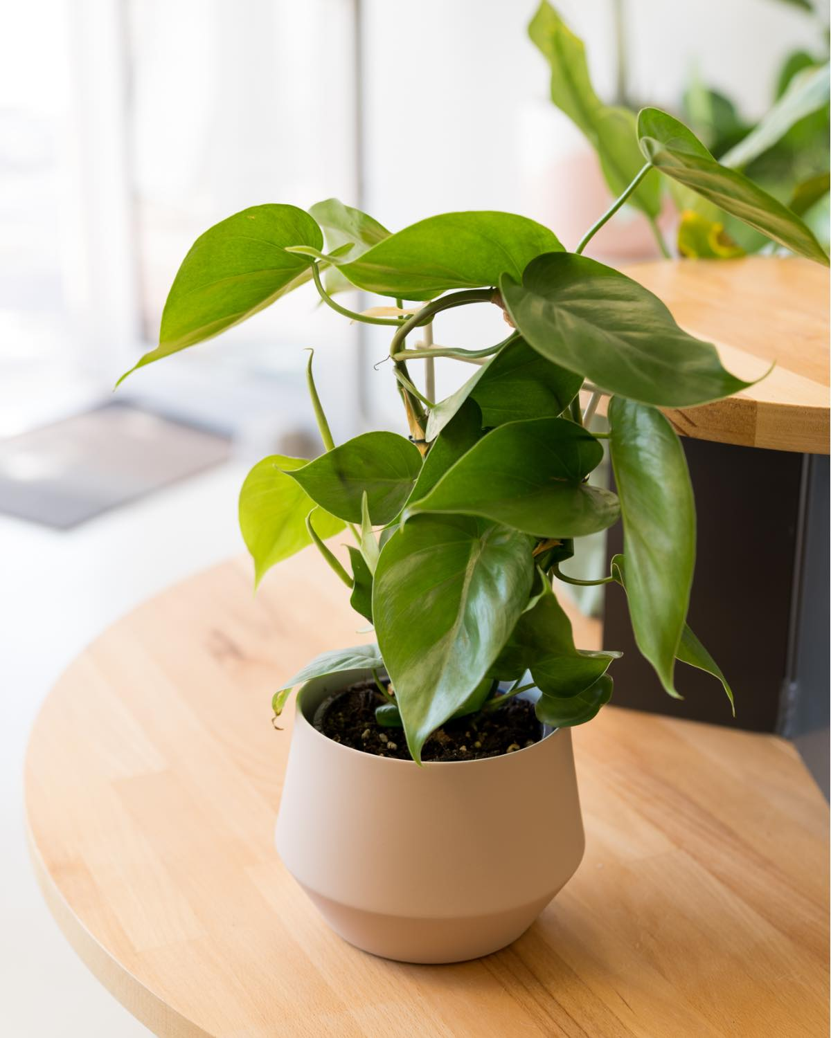 Heart Leaf Philodendron - Small