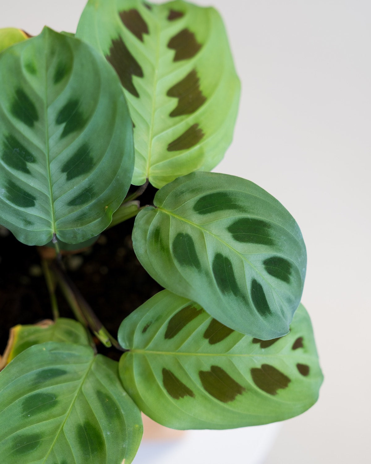 Maranta leuconeura - Green Prayer Plant