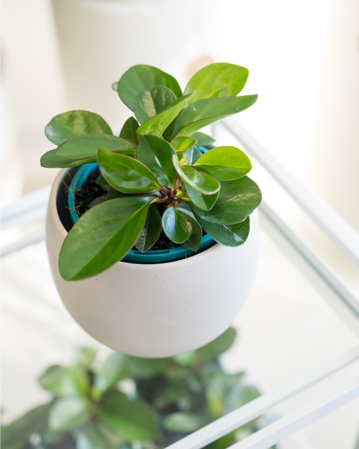Peperomia 'Red Edge' - Small