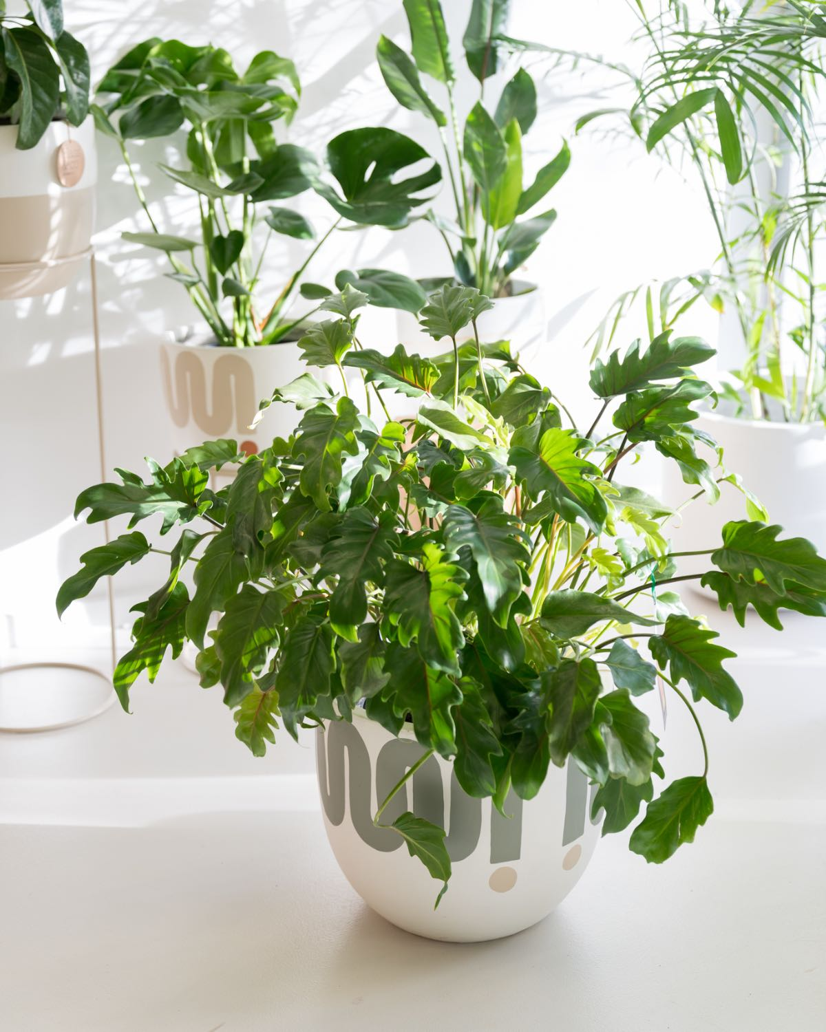 Philodendron xanadu - Large