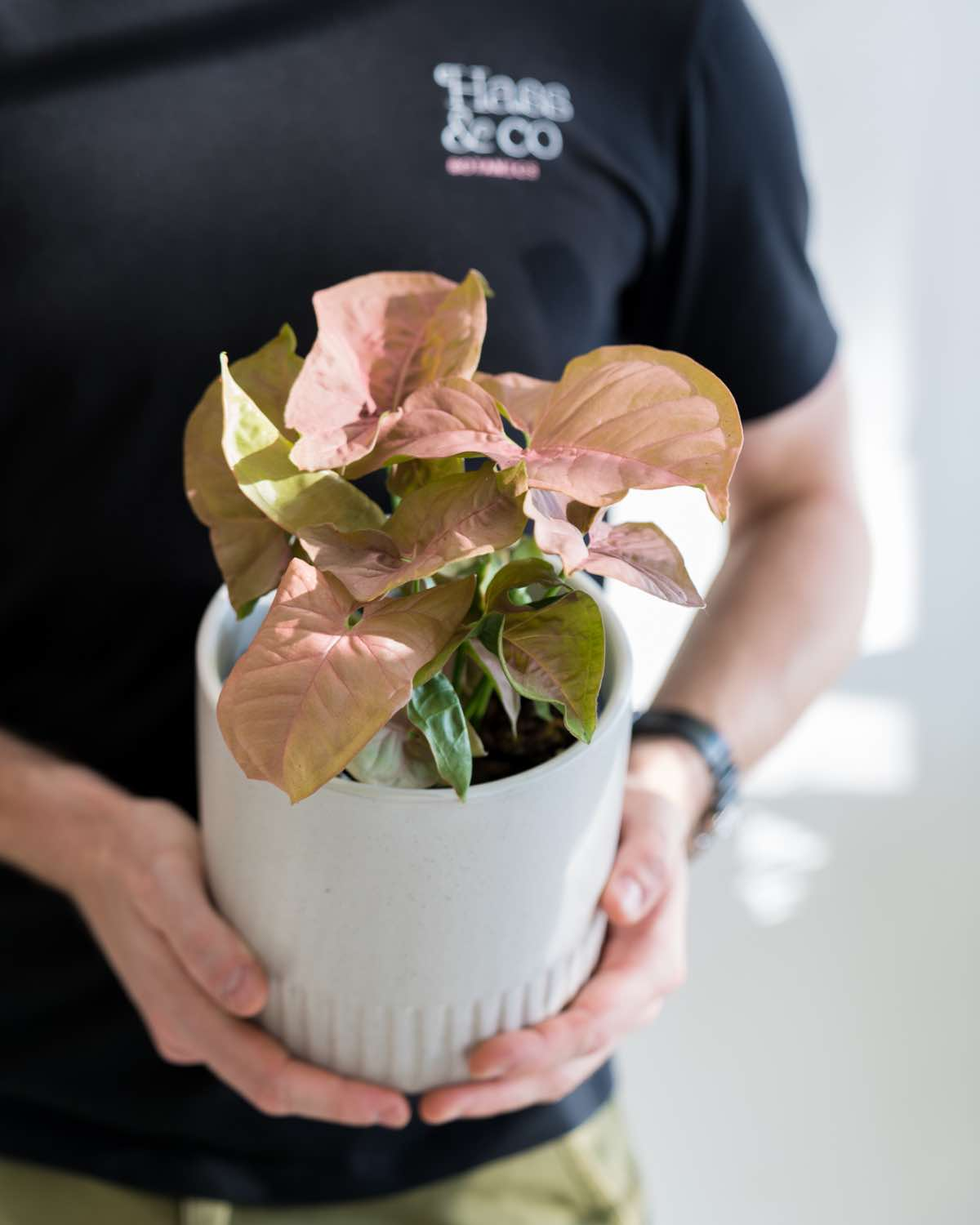 Syngonium Pink Beauty - Small