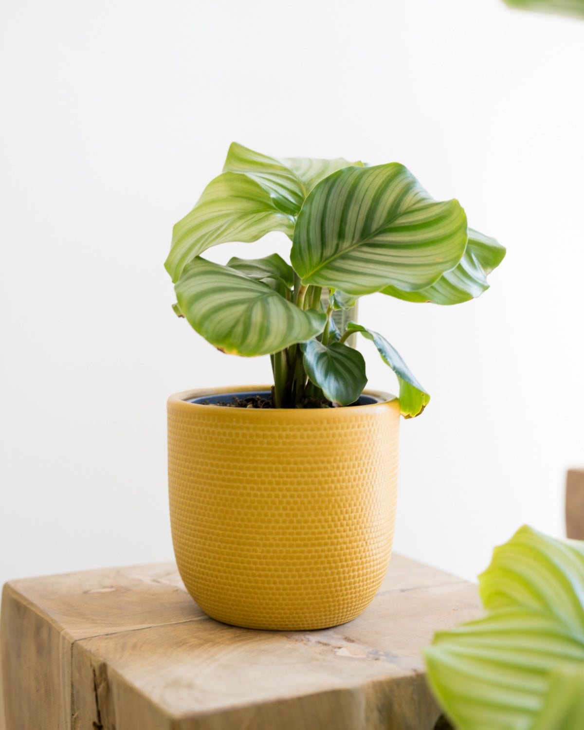 Calathea orbifolia - Small