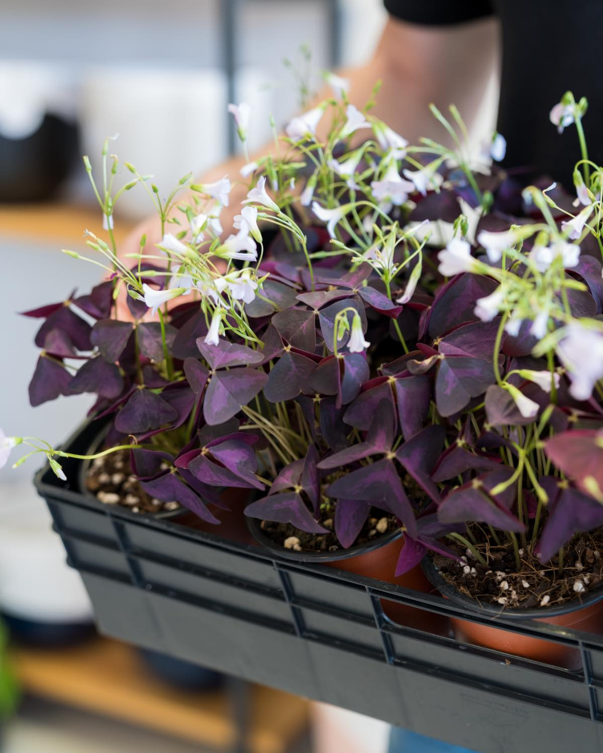 Oxalis triangularis - *LIMITED*