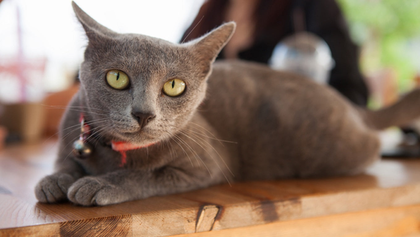 Cat Breed Spotlight: The Korat