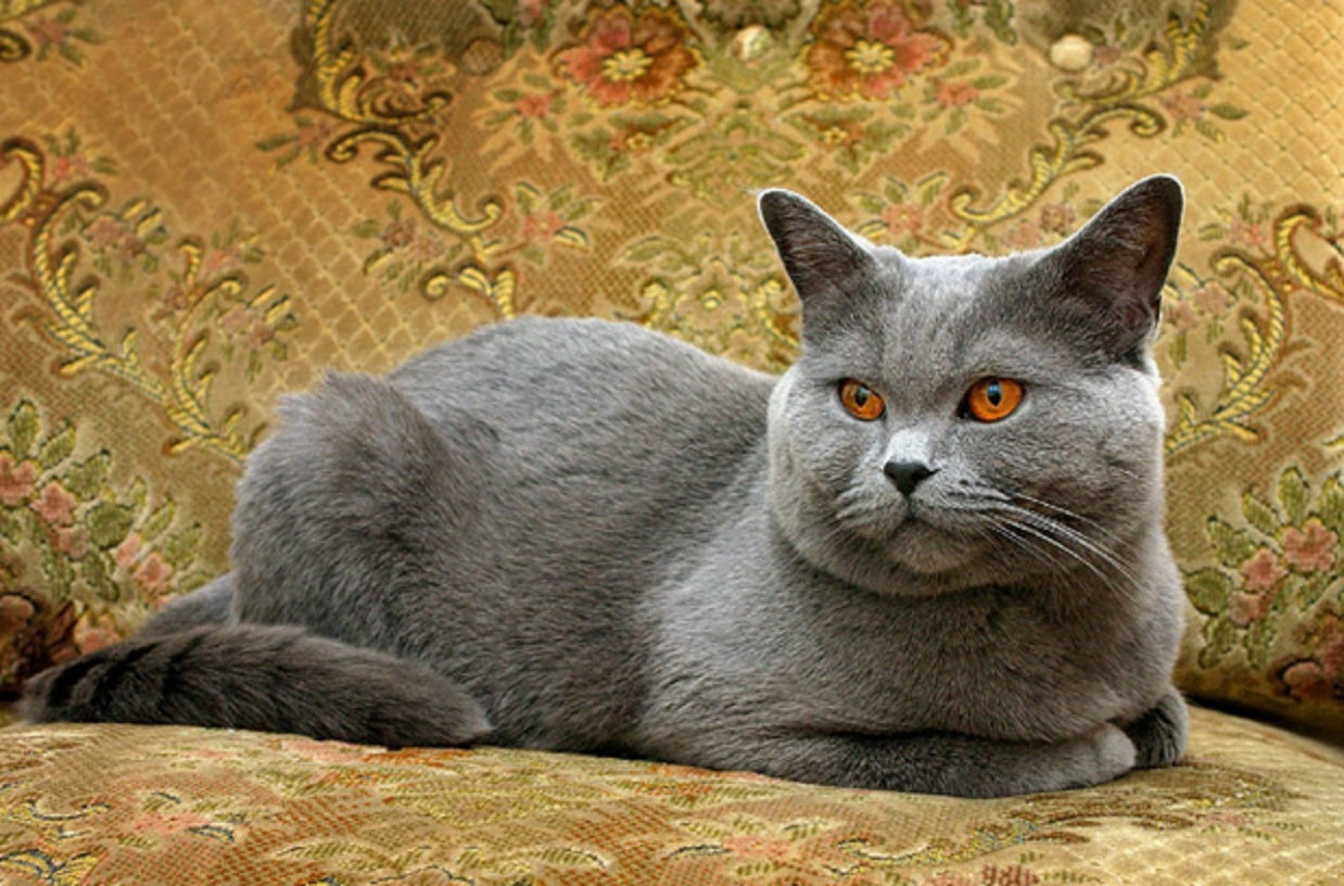 Cat Breed Spotlight: The Chartreux