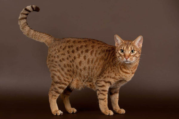 Cat Breed Spotlight: The Ocicat